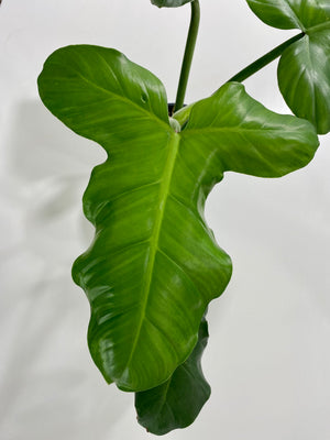 Philodendron Sanctamartinense