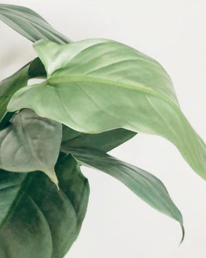 Philodendron Hastatum Small