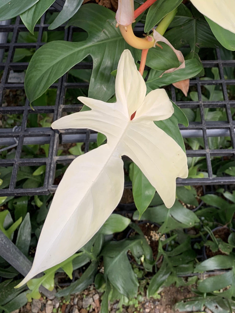 Philodendron Florida Ghost Waitlist