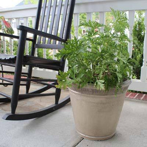 Citronella Plants (Mosquito Plants)