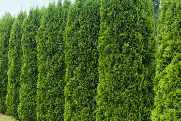 Evergreen & Privacy Trees