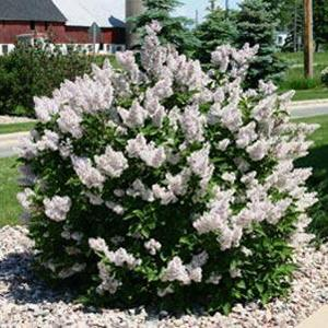 Lilac Bushes