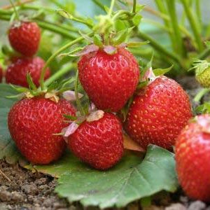 Strawberry Bushes