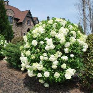 Viburnum Shrubs