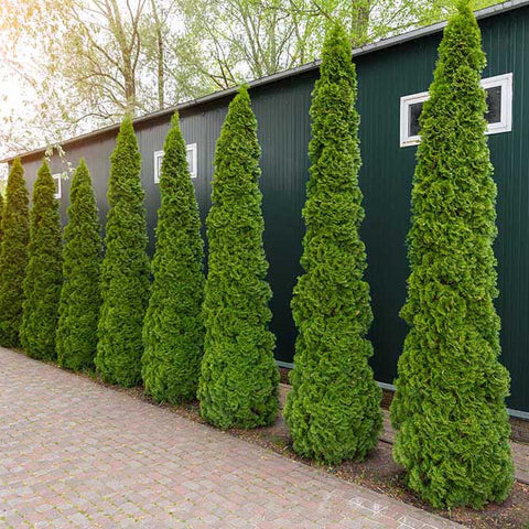 Evergreen trees privacy trees