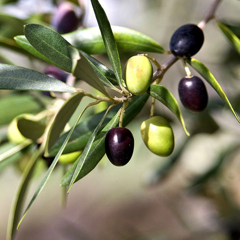 Olive tree with fruit