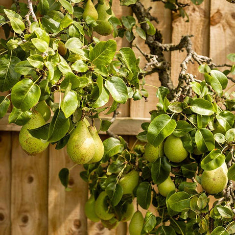 Pear tree with fruit