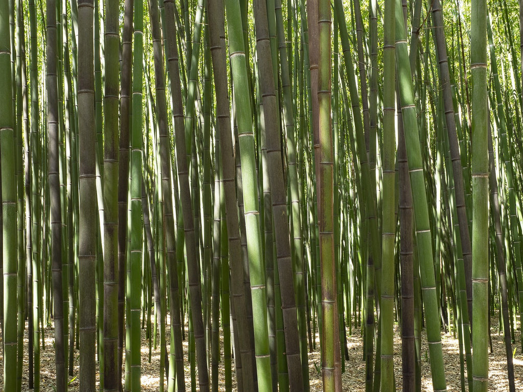 Bamboo Plants For Sale Brighterblooms Com