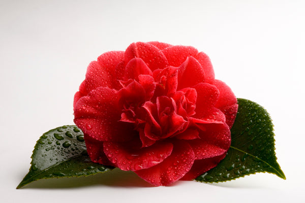Caring for Kramer's Supreme Camellias