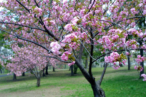 How to Care for Cherry Blossom Trees