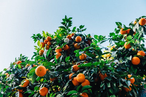 What are Citrus Trees?