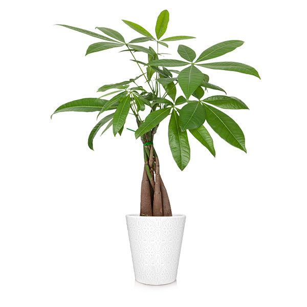 Money Tree in White Pot