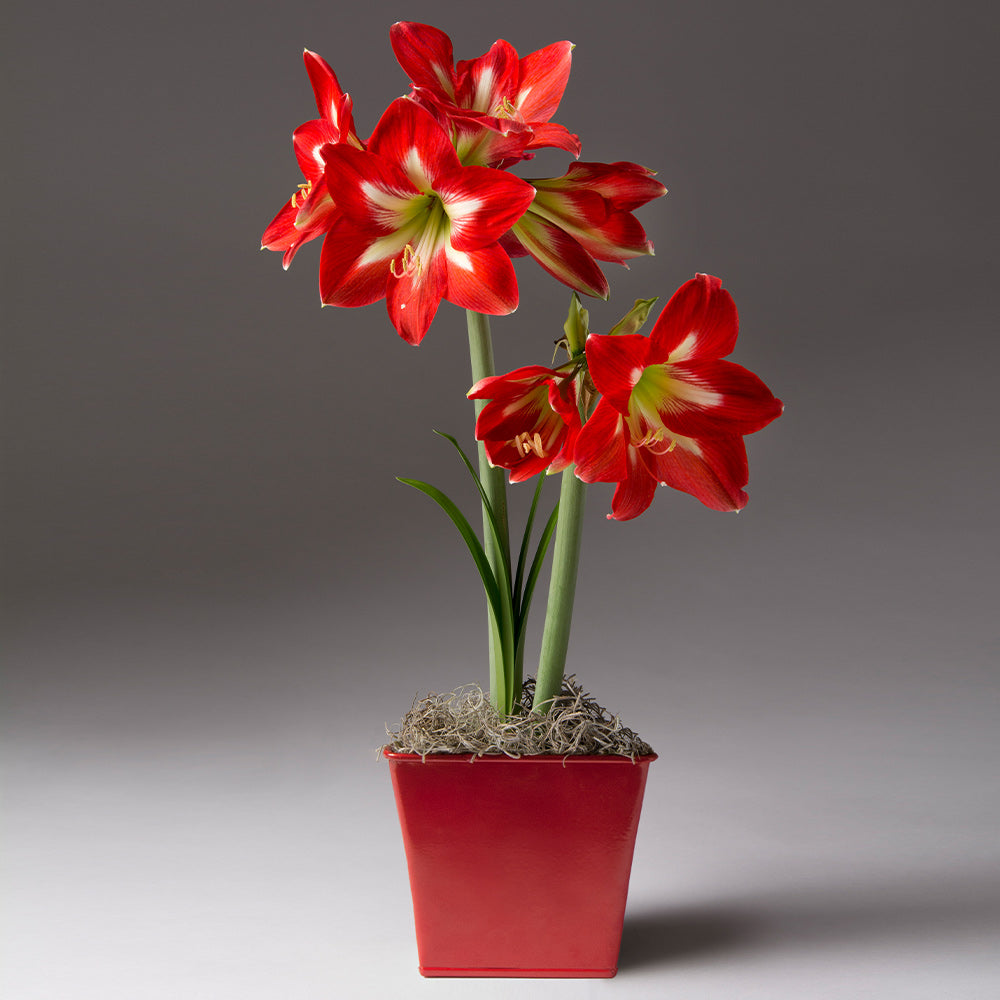Christmas Star Potted Amaryllis Plant