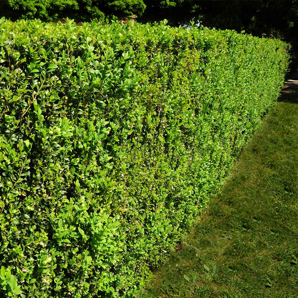 American Boxwood Shrub
