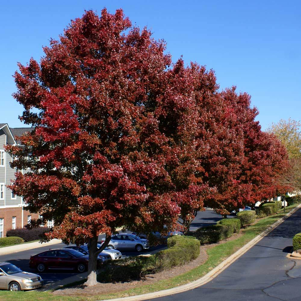 American Red Maple Tree
