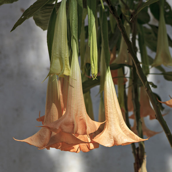 Peach Angel Trumpet Trees For Sale Brighterblooms Com