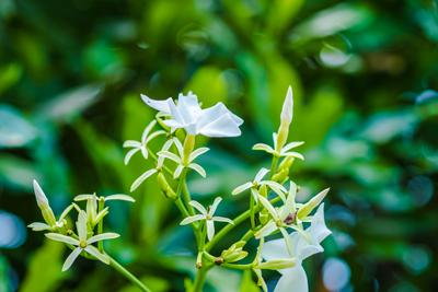 Angel Wing Jasmine Shrub
