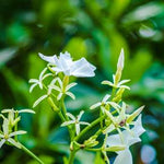 Angel Wing Jasmine