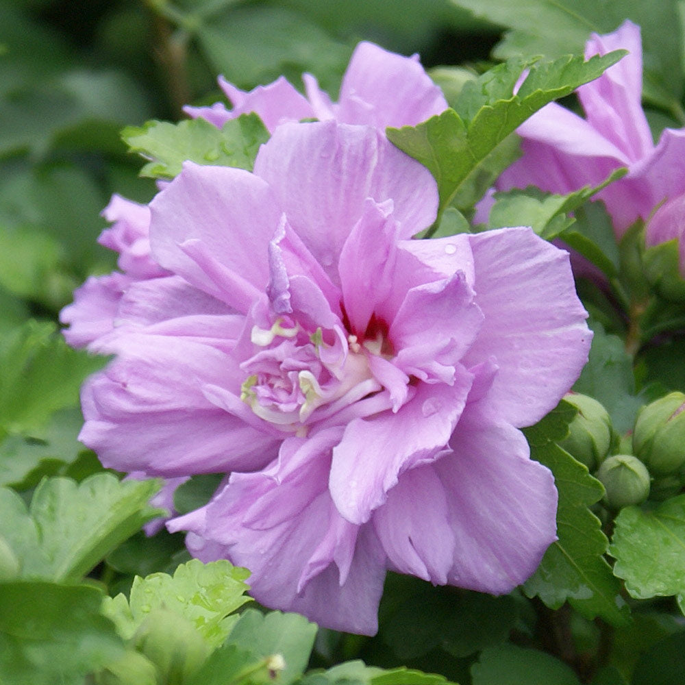 Ardens Rose of Sharon Althea Shrub