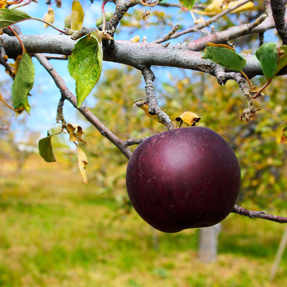 Arkansas Black Apple Tree