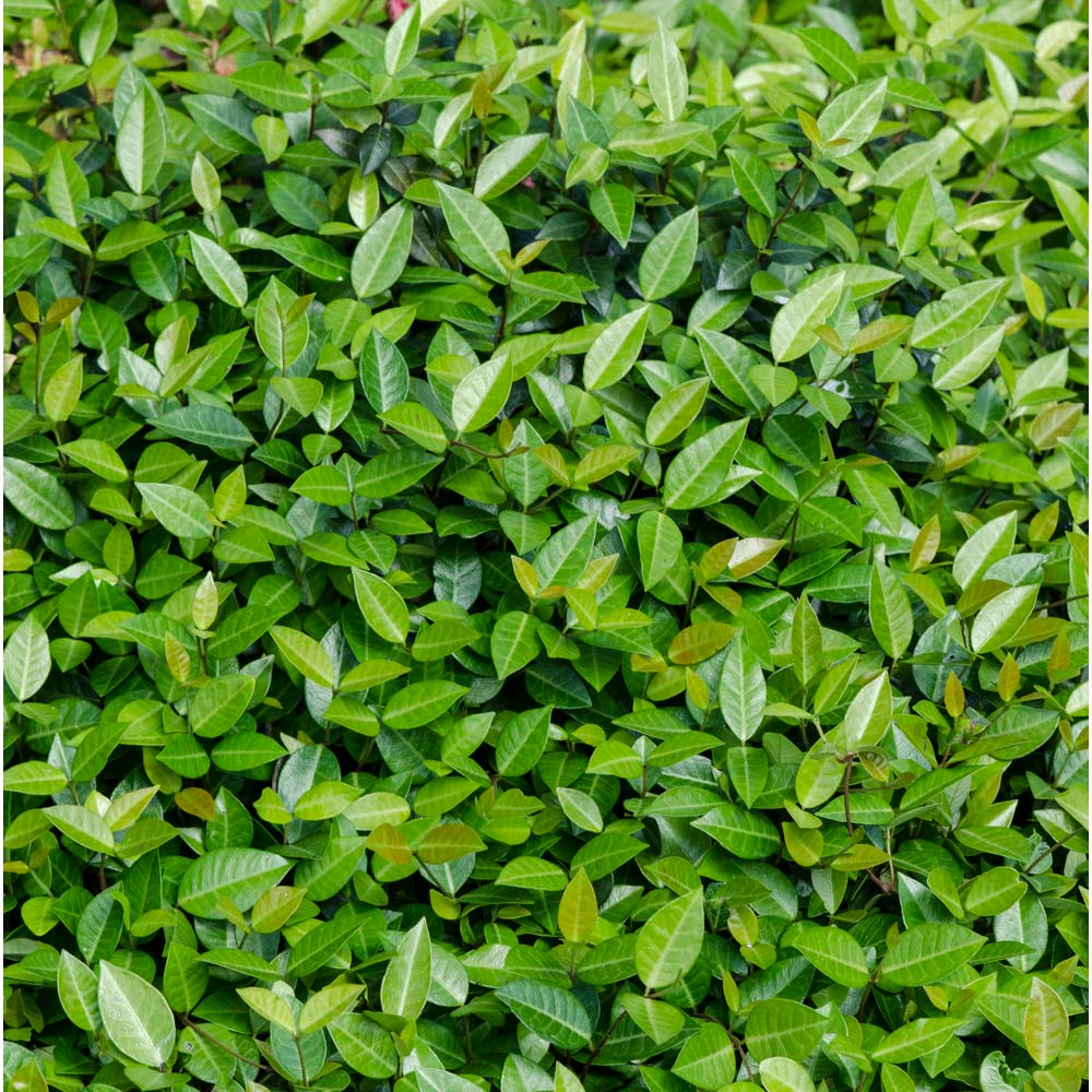 Asiatic Jasmine Shrub