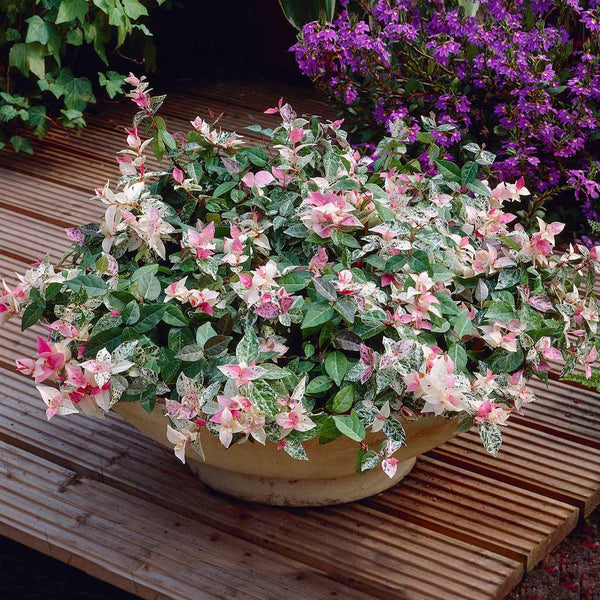 Snow N Summer Asiatic Jasmine Plants For Sale