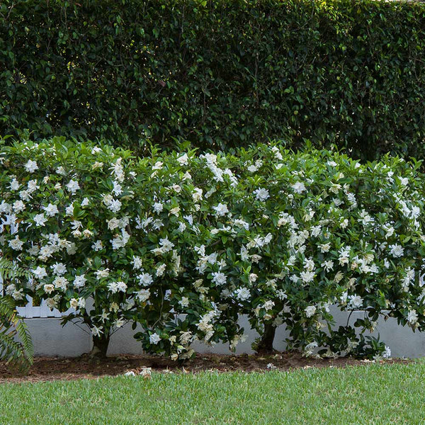 August Beauty Gardenias For Sale Brighterblooms Com