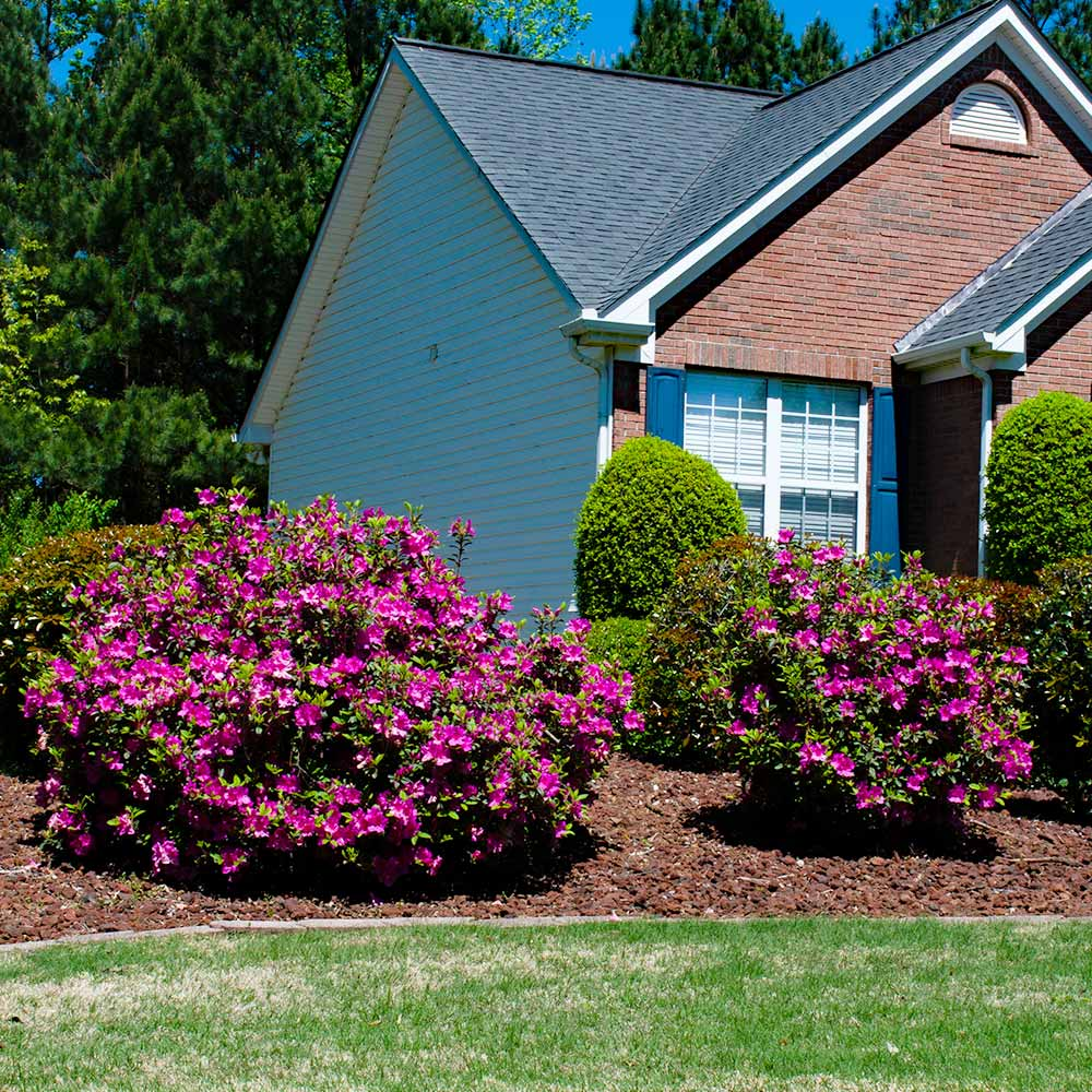 Autumn Royalty® Encore® Azalea Shrub