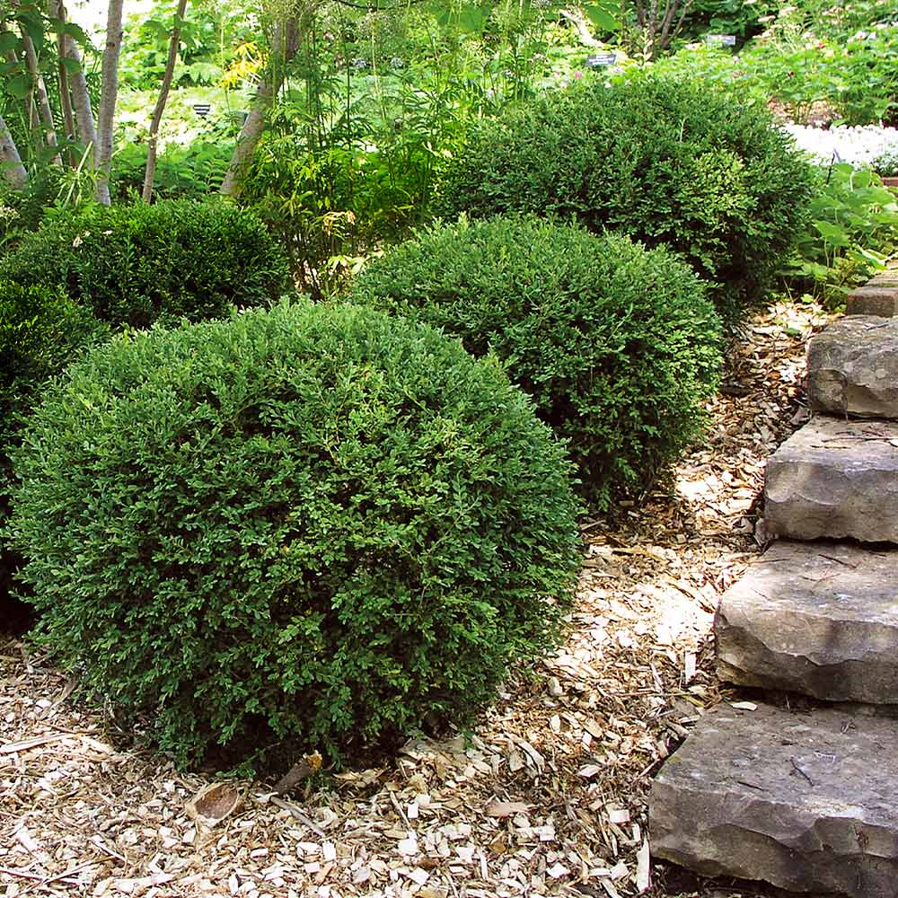 Wintergreen Boxwood Shrub