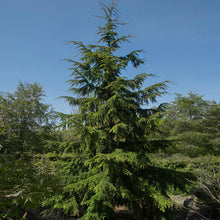 Canadian Hemlock Tree