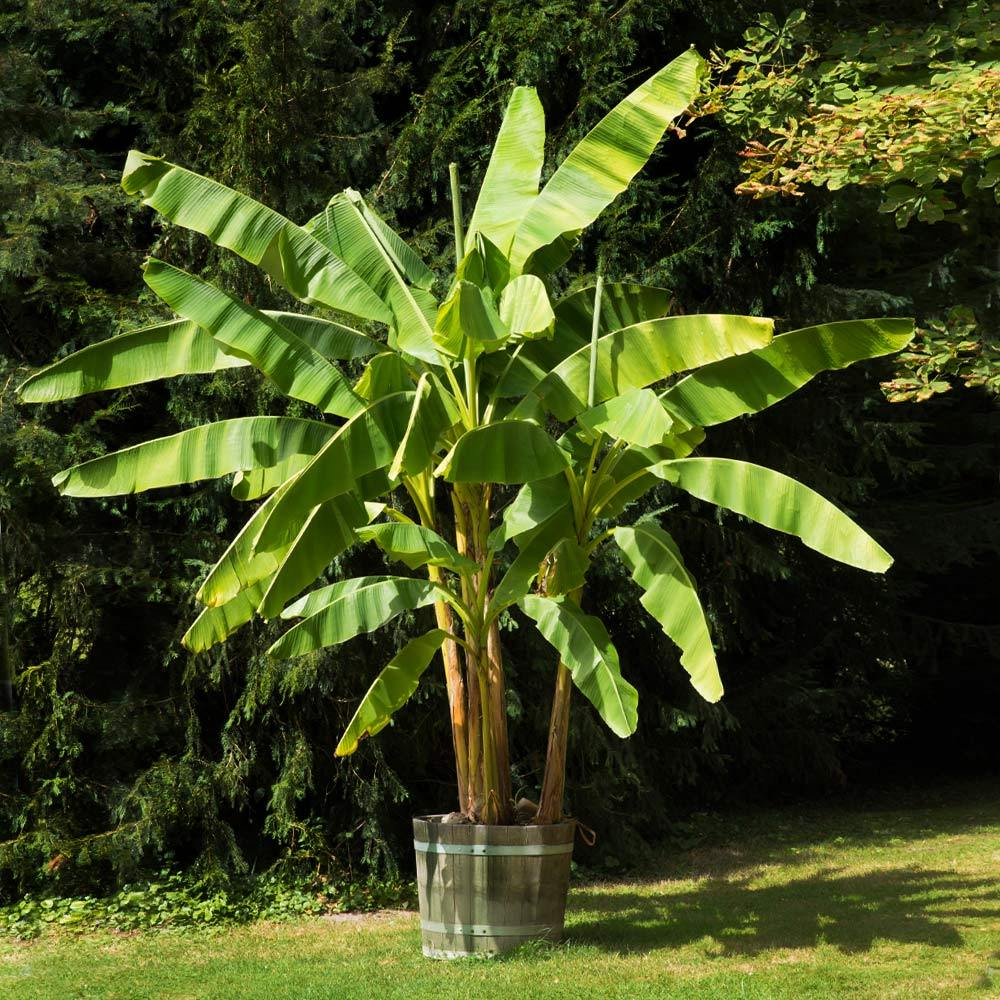 Dwarf Cavendish Banana Tree