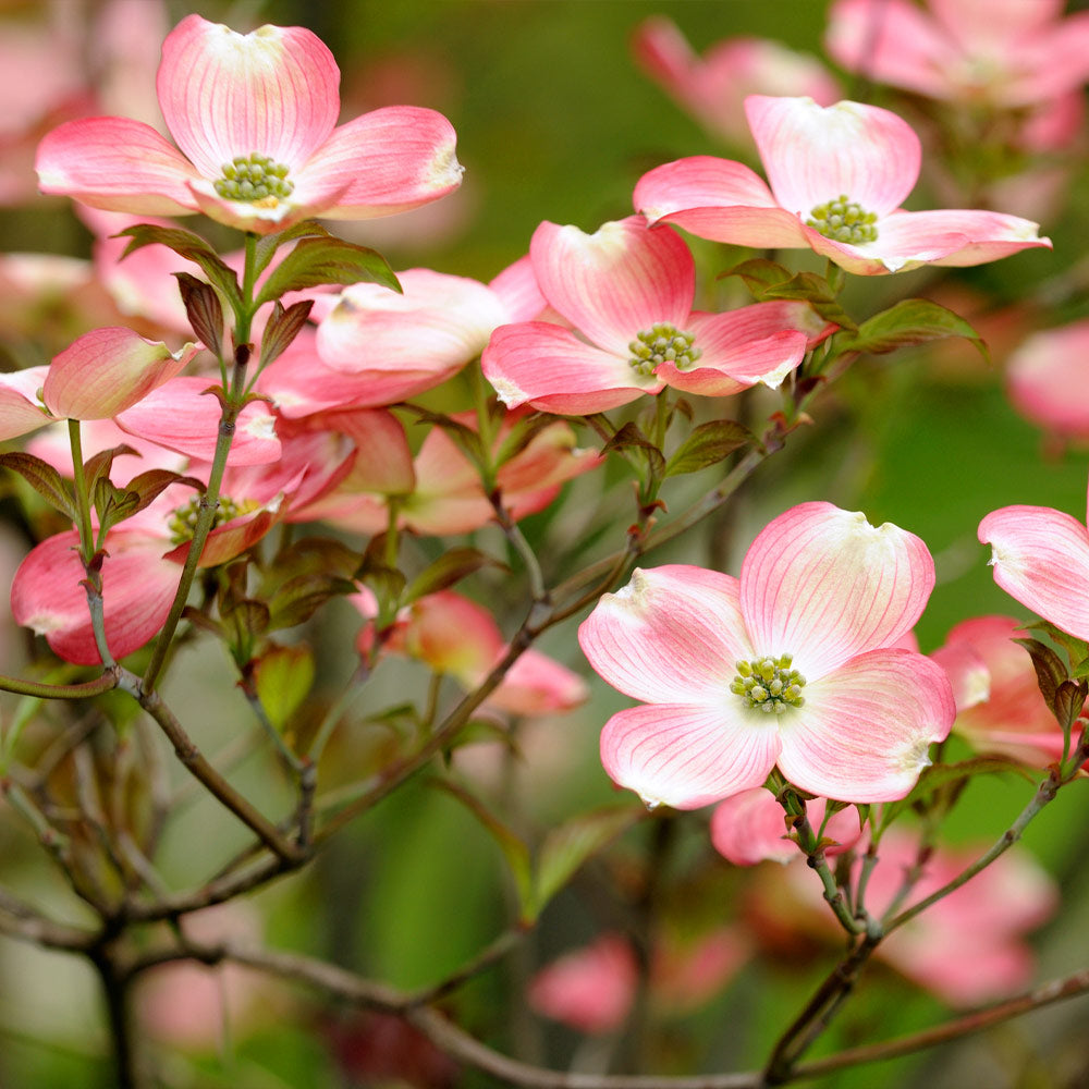 Cherokee Brave Dogwood Tree
