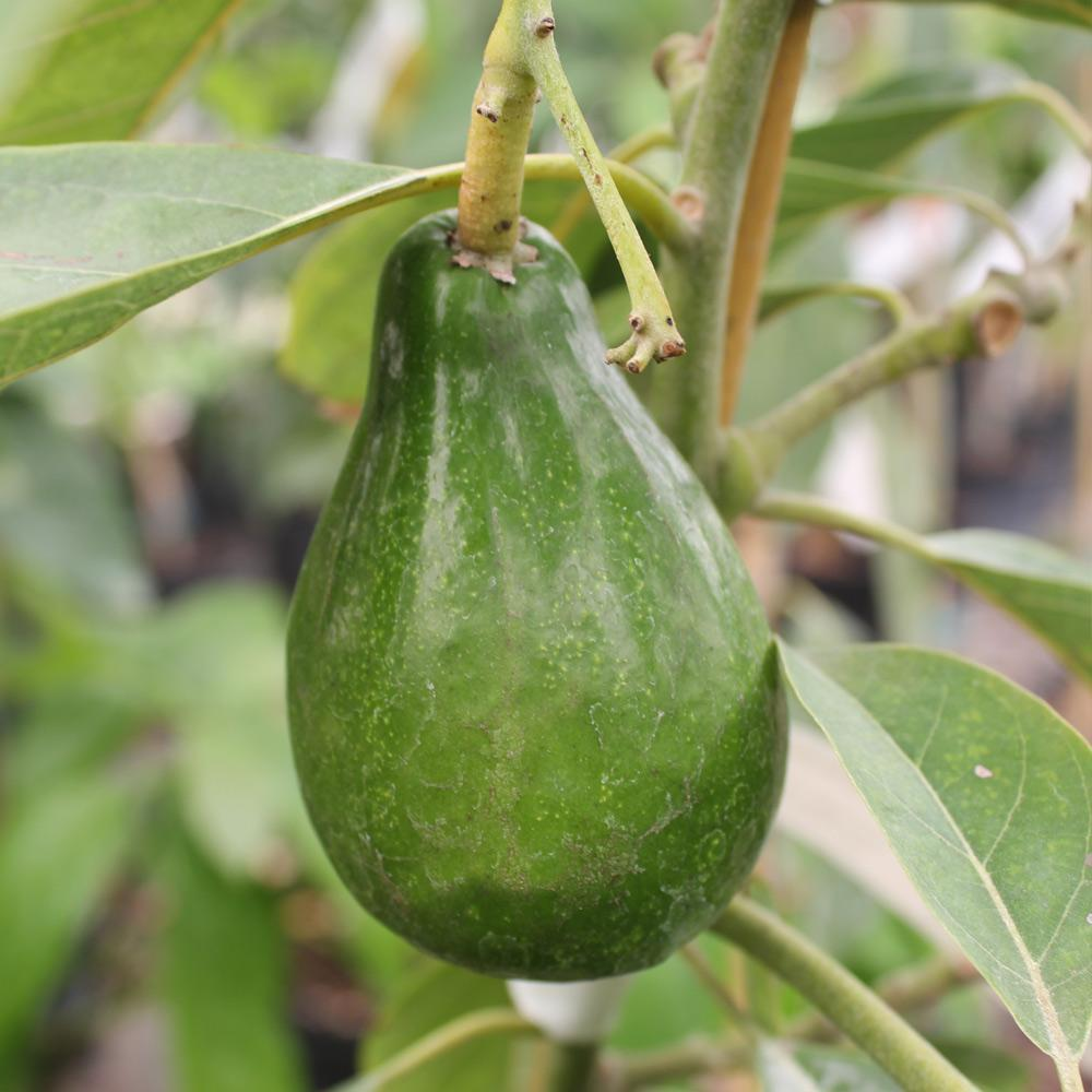 Cold Hardy Avocado Tree