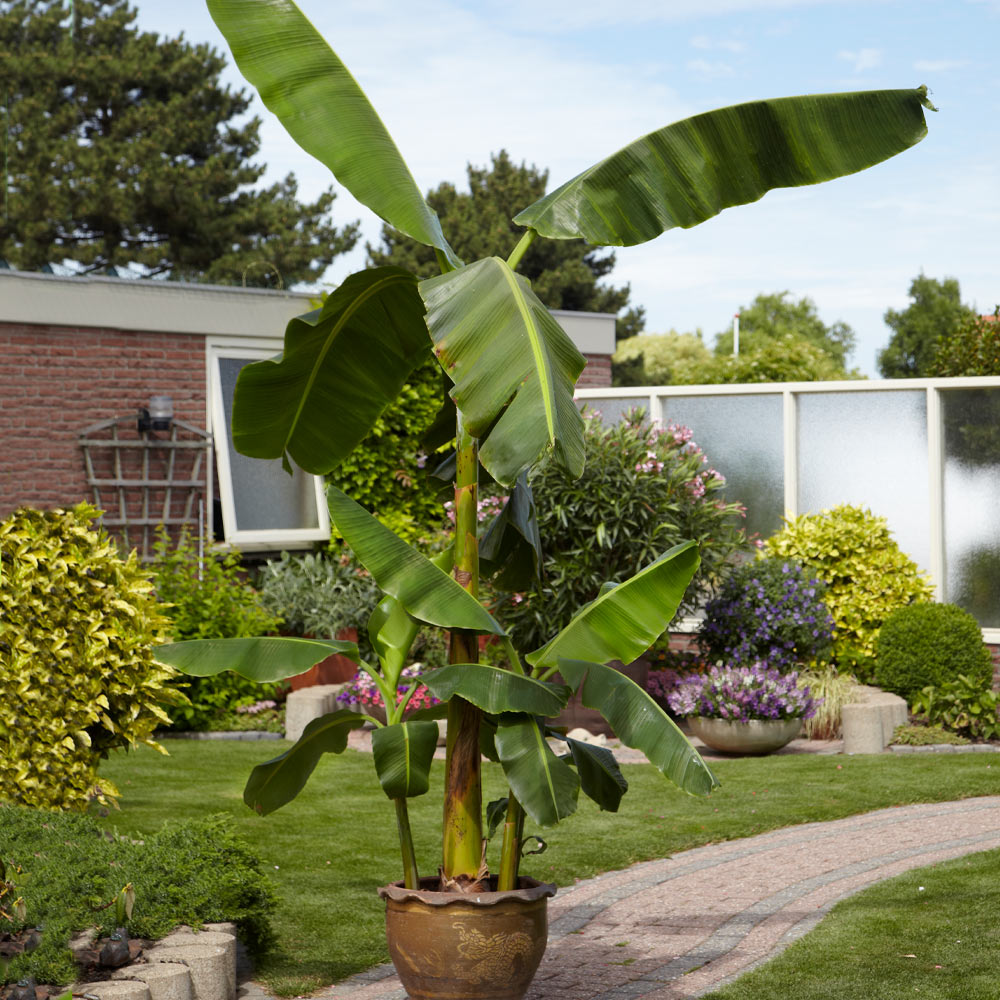 Cold Hardy Banana Tree