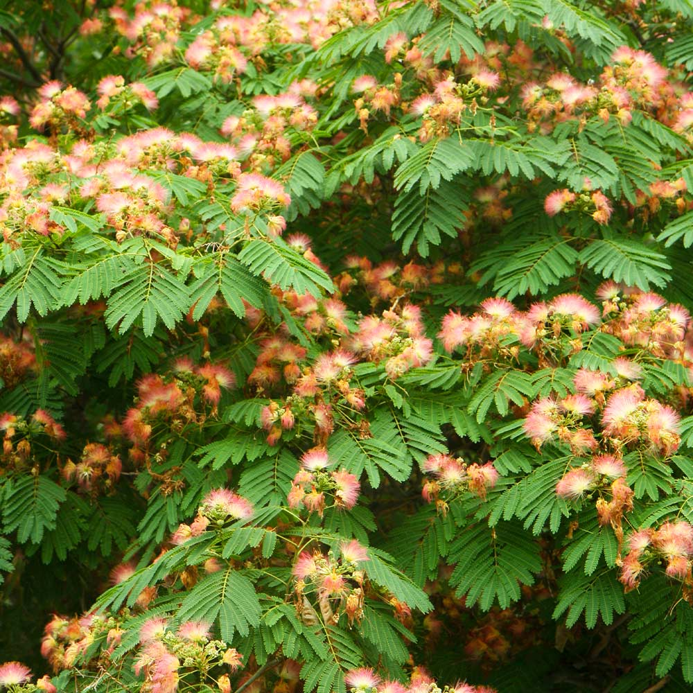 Cold Hardy Mimosa Tree