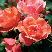 Coral Knock Out® Rose Shrub