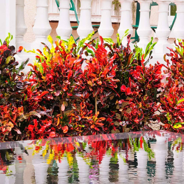Mammy Croton Plants For Sale Brighterblooms Com