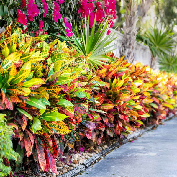 Croton Plants For Sale Brighterblooms Com