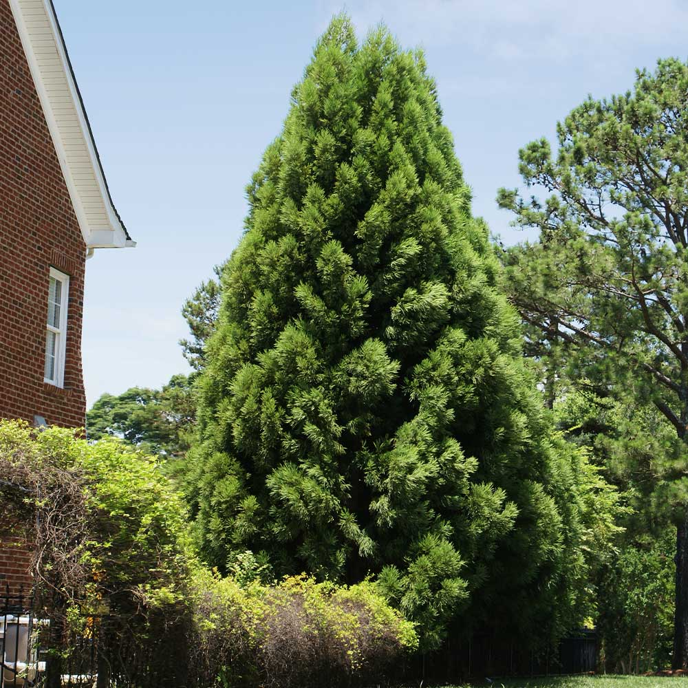 Cryptomeria Radicans Tree
