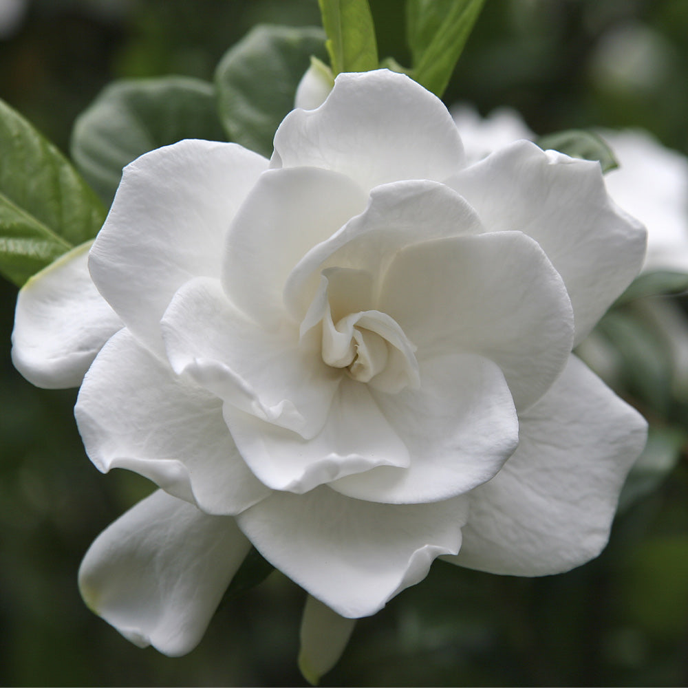 Double Blooming Gardenia Tree