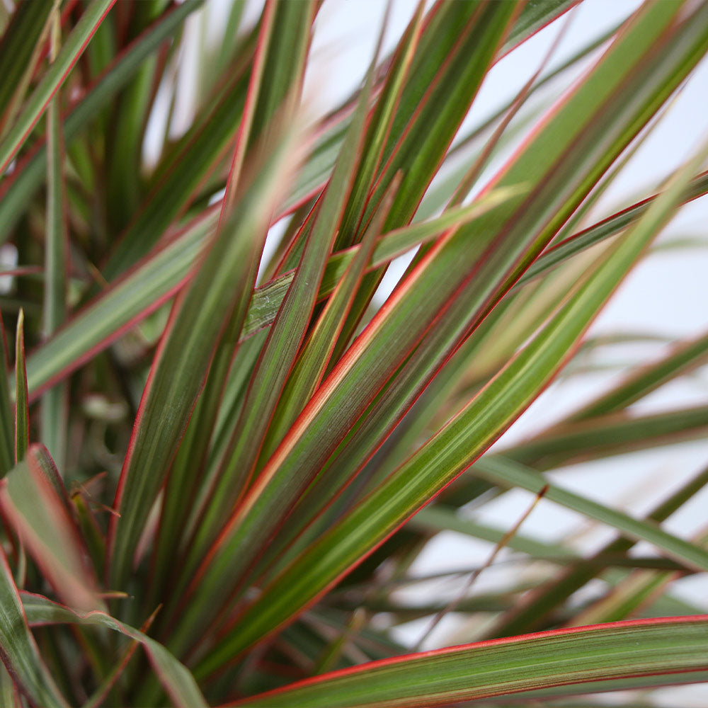 Bi-Color Dracaena Plant