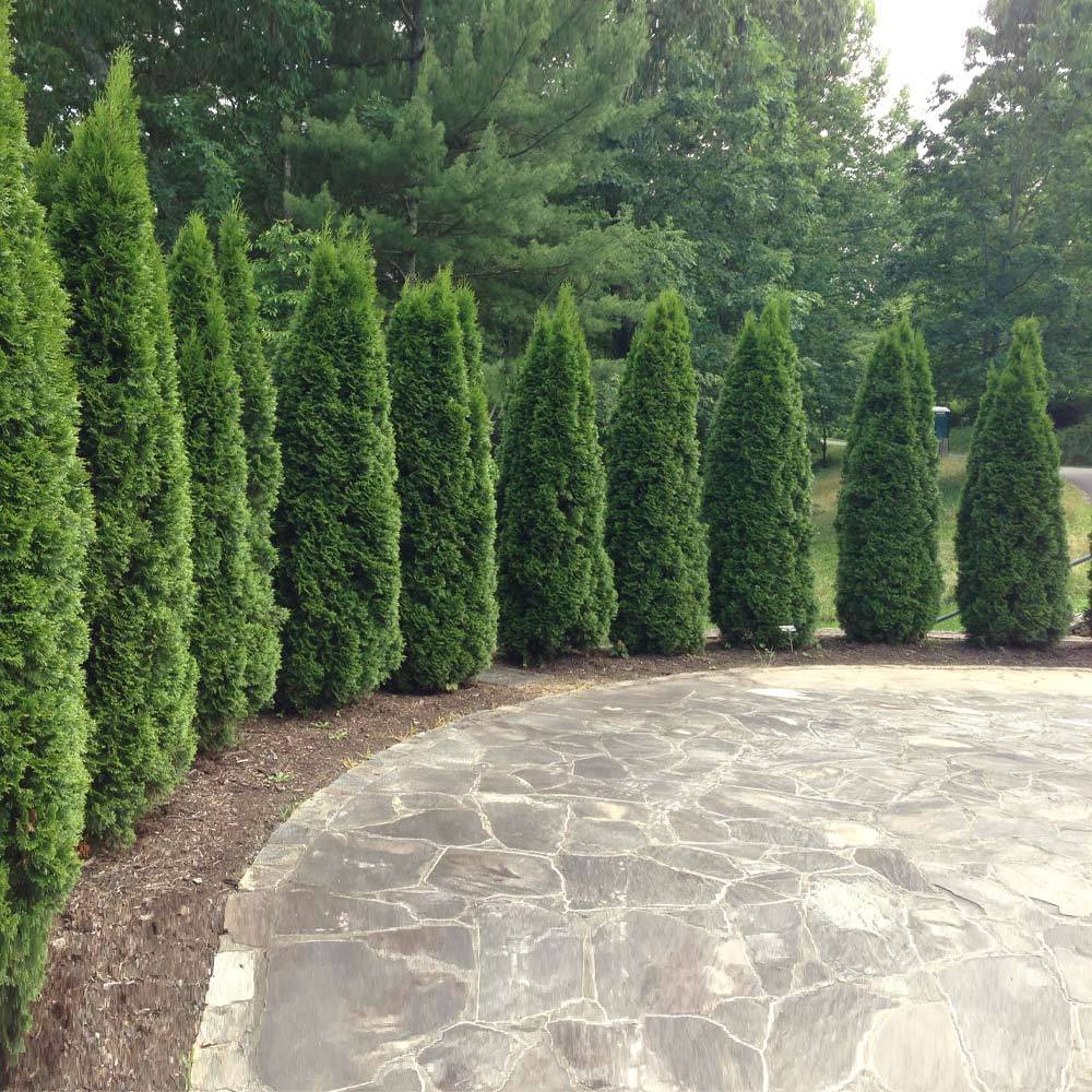 Emerald Green Thuja Tree