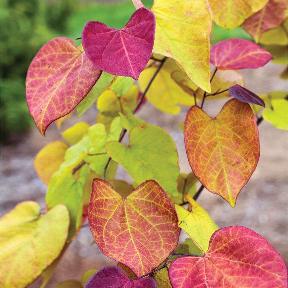 Flame Thrower® Redbud Tree