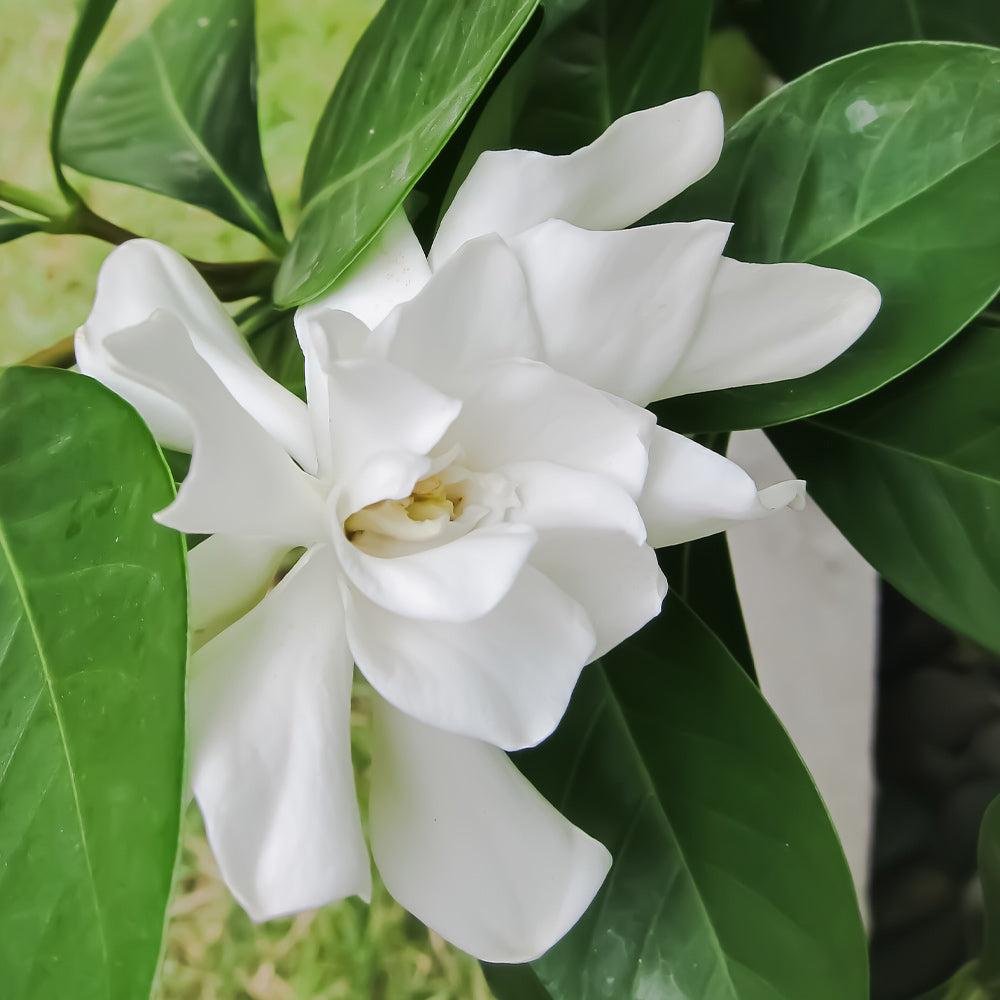 Frost Proof Gardenia Shrub
