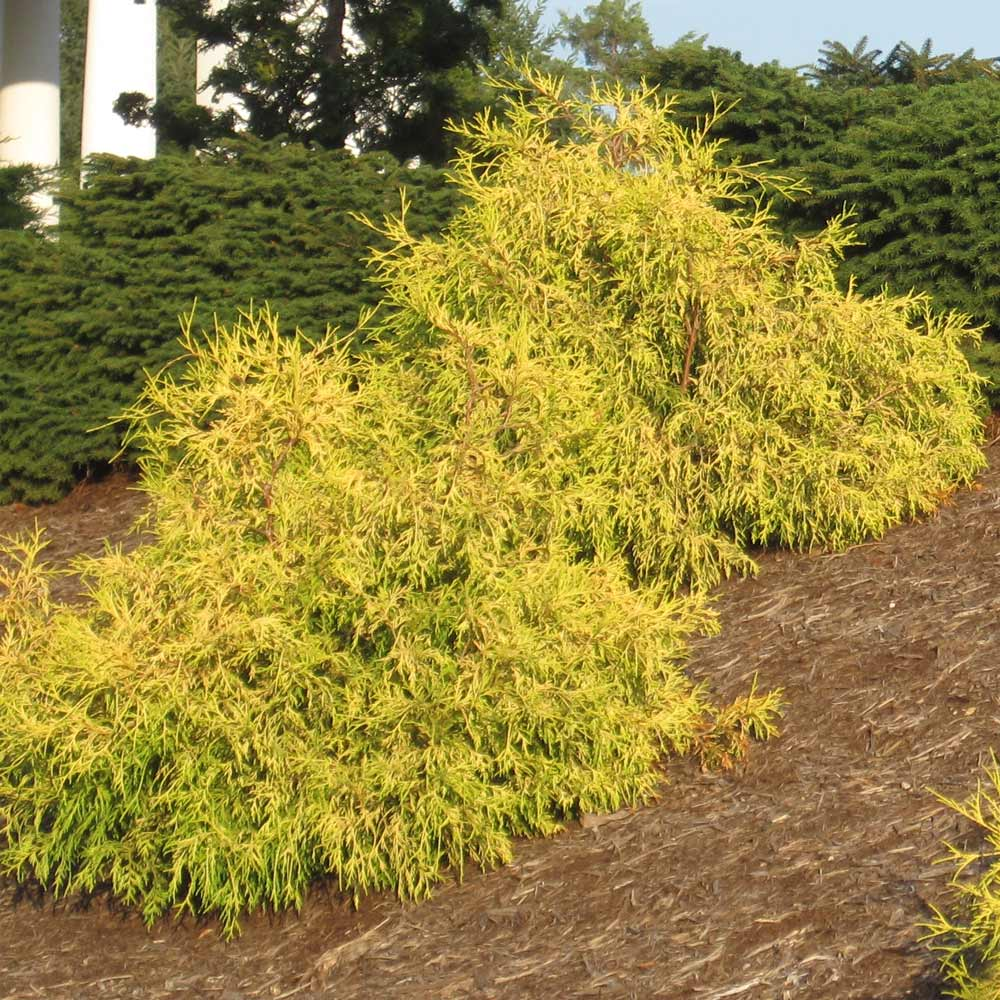 Gold Mop Cypress Tree