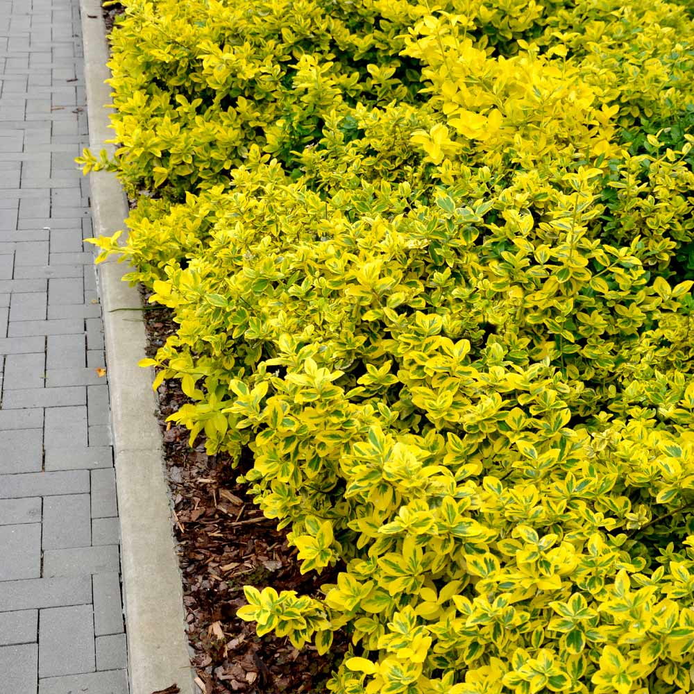 Golden Euonymus Shrub