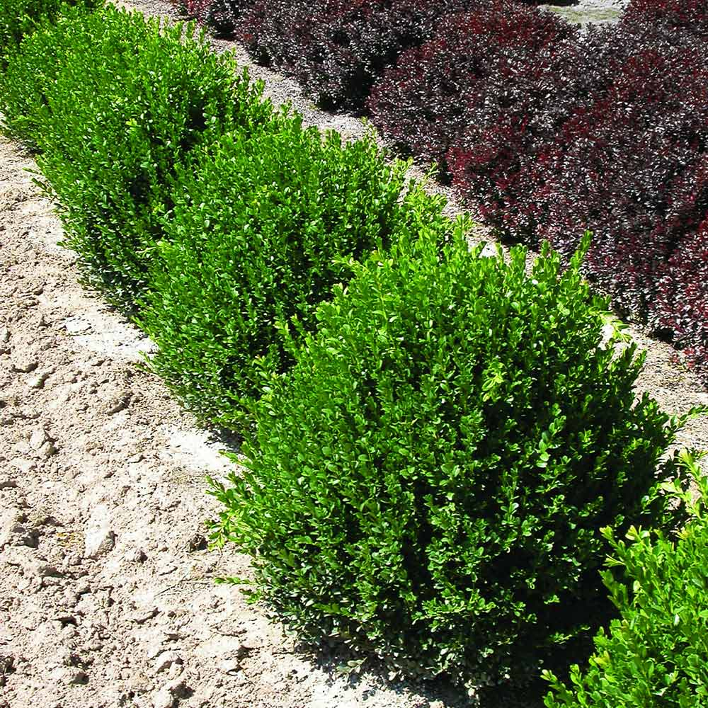 Green Velvet Boxwood Shrub