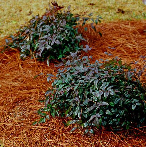 Harbor Belle Nandina Shrub