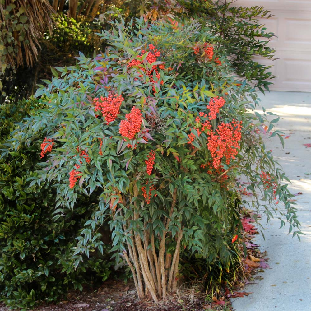Heavenly Bamboo Nandina Shrub