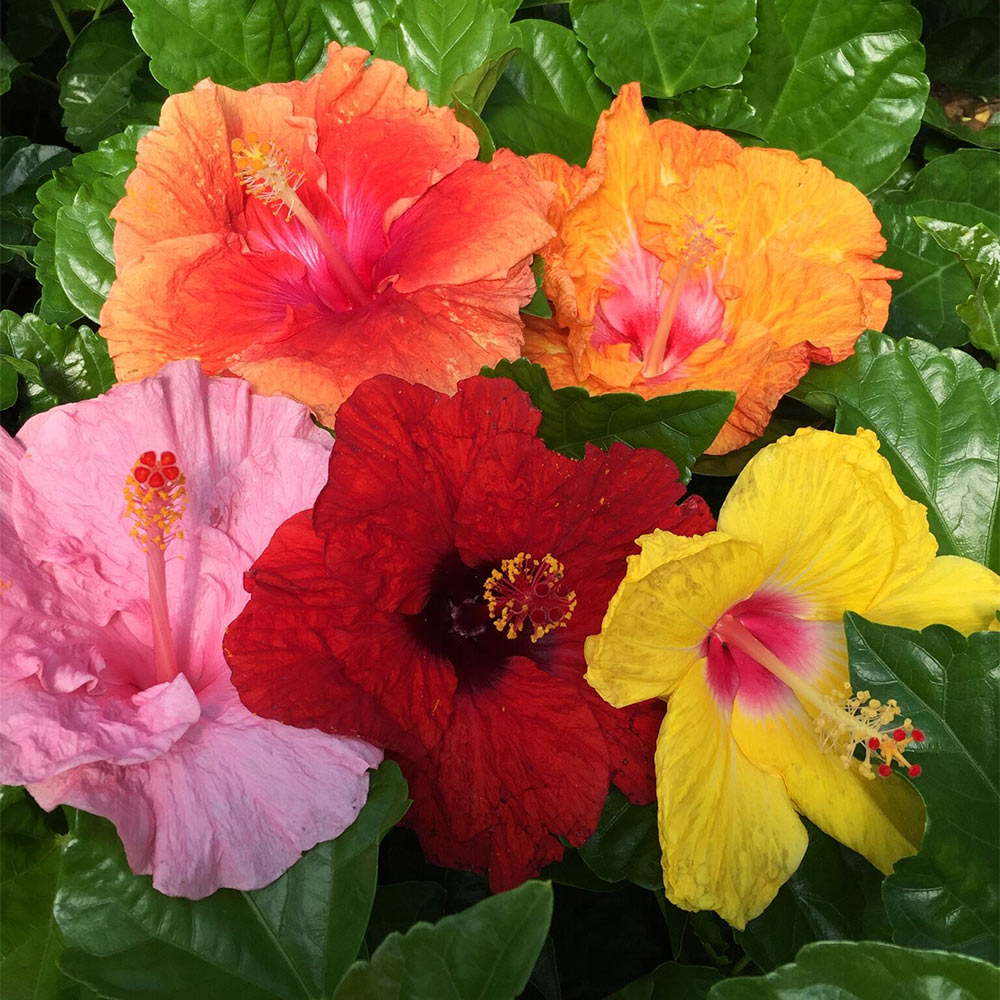Bloom Bash® Hollywood® Hibiscus